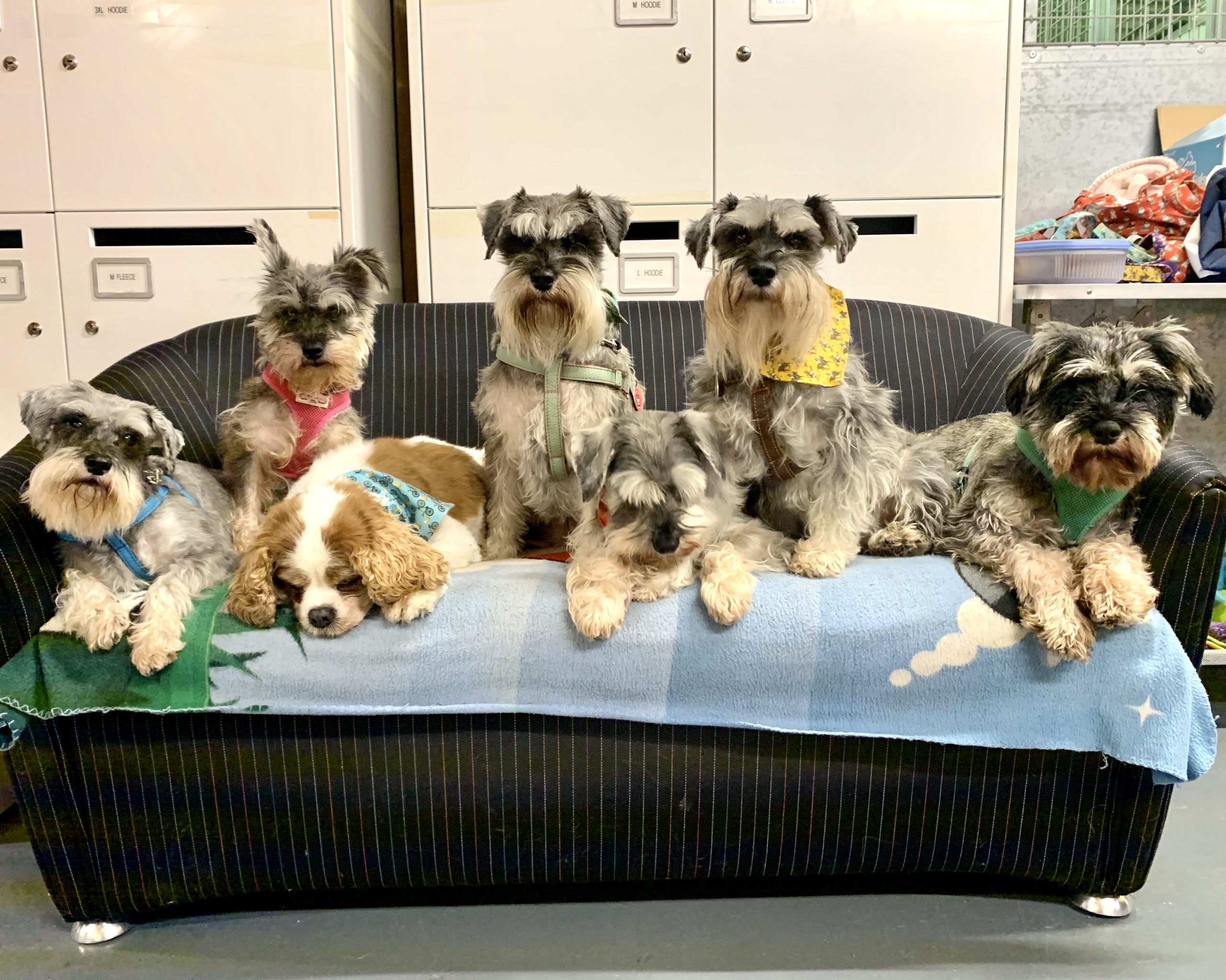 Sofa surfing with schnauzers